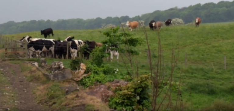 Torryburn_cows.png